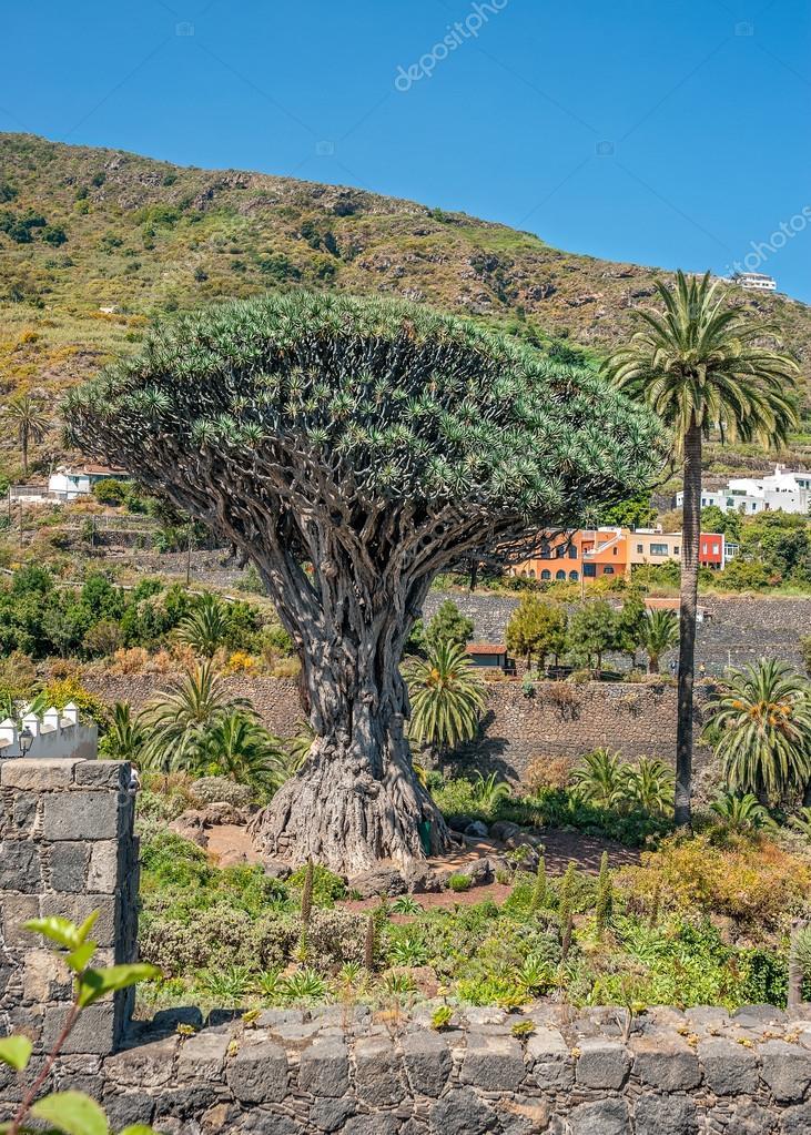 Dragon tree , or Dracaena draco.