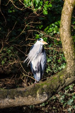A common grey heron Ardea cinerea perched on a bent tree trunk on the bank next to a river