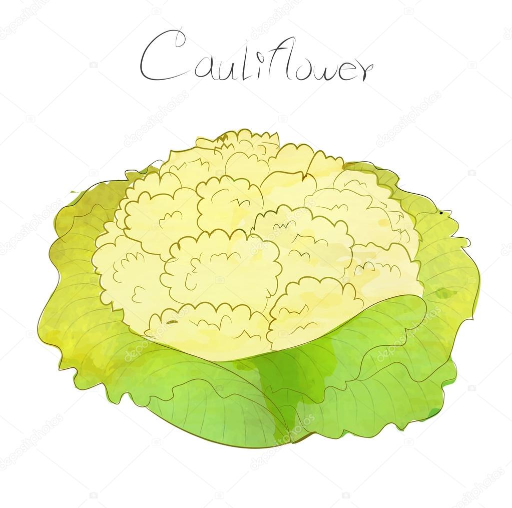 Cauliflower vector design with water color