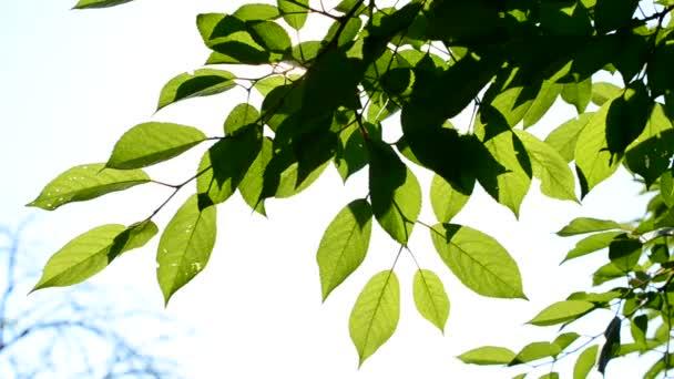 Cseresznye fa ága, zöld levelekkel