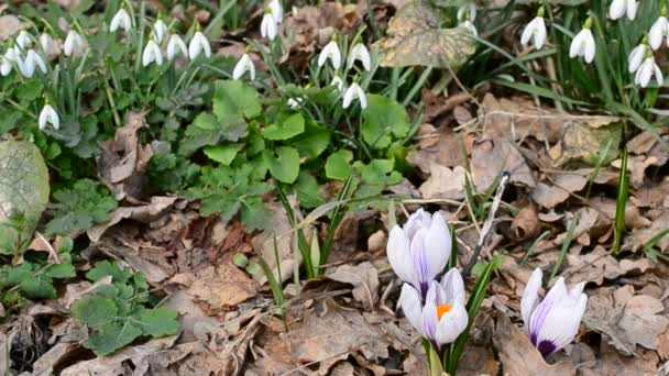 Crocuses and snowdrops blown by wind