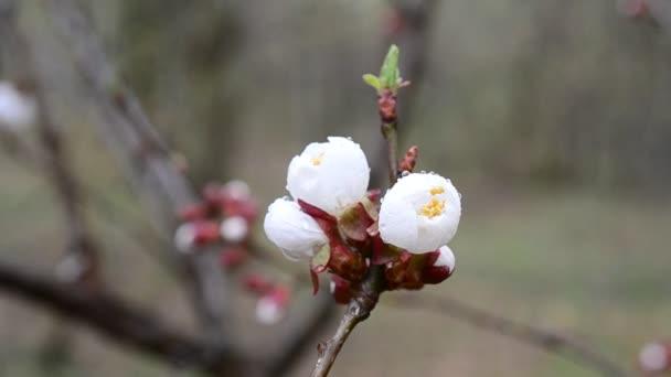 Detail květu meruněk rozvířil vítr na jaře