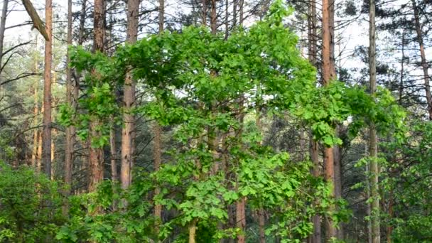 English oak tree in a forest with vibrant green foliage