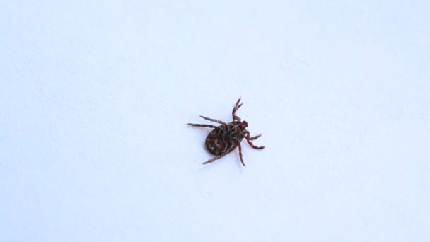 Tick lies upside down, turns over and crawls out of frame