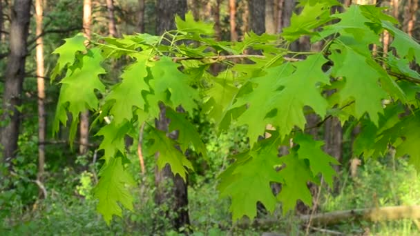 Branch of northern red oak tree with lush, vibrant green foliage