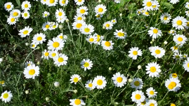Meadow with many beautiful white and yellow daisy flowers
