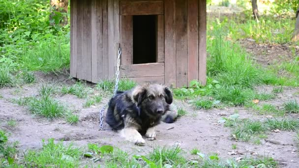 Dog on chain lies near wooden kennel licks his lips and yawns
