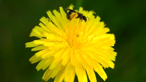 Dolgozó méh pollen összegyűjti sárga pitypang virág