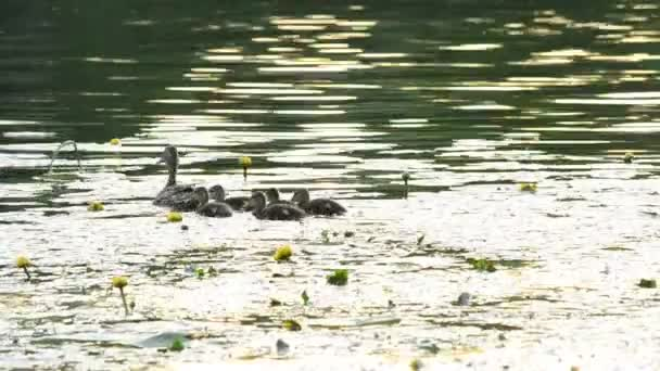Duck with ducklings swim in pond with yellow water lilies