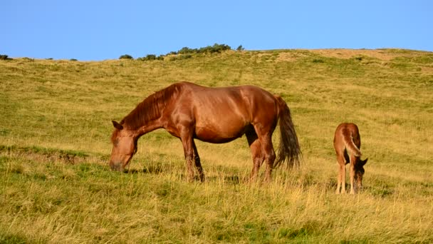 Brown mare and foal grazing in late summer in Mountains
