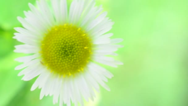 Single chamomile - fresh daisy flower on light green background