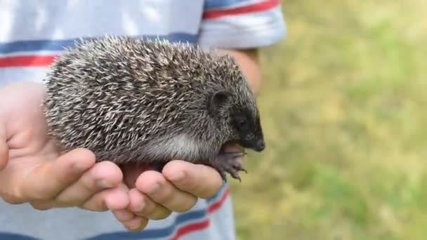 Small young hedgehog in human hands