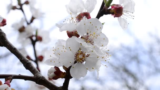 Fiore fiori di albicocco