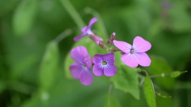 Lunaria. Purple honesty flowers on blurred green background