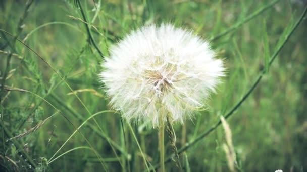 Bolyhos pitypang a háttérben a zöld fű