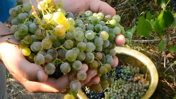 Emberi kéz összegyűjtése szőlő