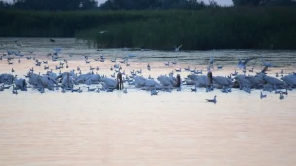 Große weiße Pelikane, Reiher und Möwe im Morgengrauen