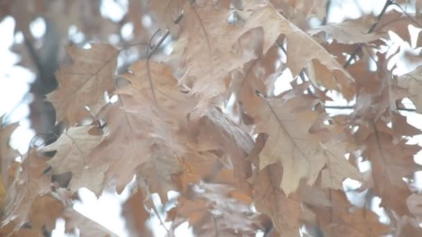 Old dry wizened brown foliage of northern red oak stirred by win