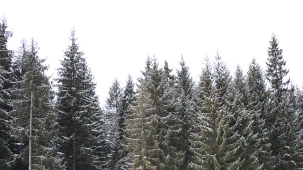 Snow falling on background of green fir trees
