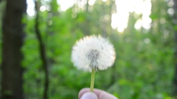 Blowing away of dandelion blowball on green blurred background