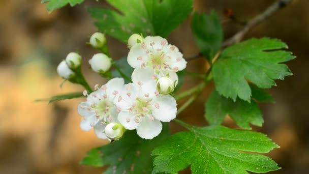 Közeli fel meghatározatlan galagonya virágok keverni a szél tavasszal