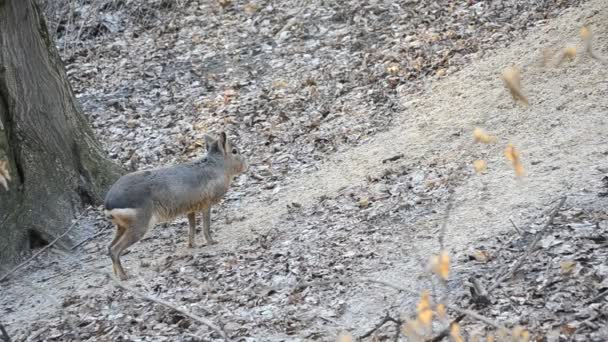 Patagonian mara stands still and walks out of frame in a park
