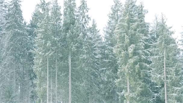 Sníh padá na pozadí majestátní stálezelených jedle
