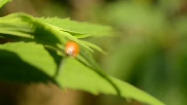 zöld levél katicabogár