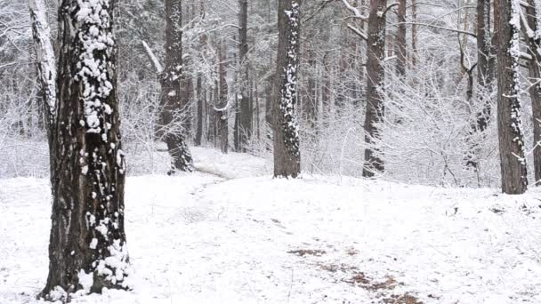 Black dog runs quickly to camera in snowy forest. It is snowing