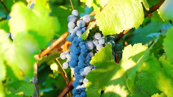 Érett szőlő kész betakarításra