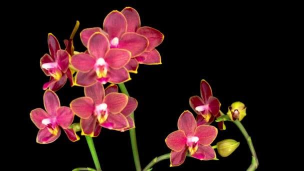 Kvetoucí červená orchidej Phalaenopsis Květ na černém pozadí. Čas vypršel. Záporné místo.