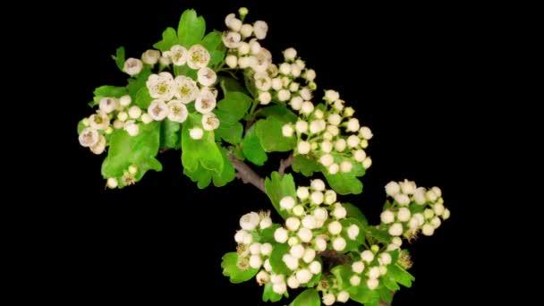 Bílé květy Květy na větvích hlohu. Black Buckground. Časová prodleva.