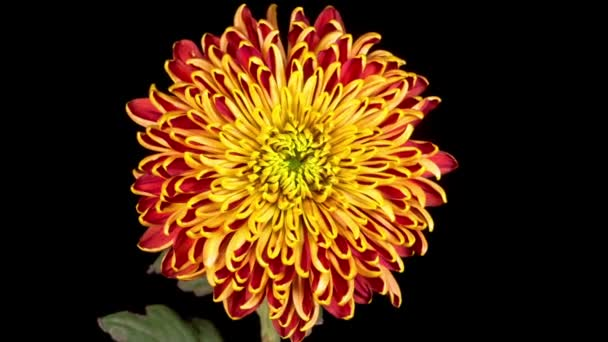 Time Lapse of Beautiful Red - Yellow Chrysanthemum Flower Opening Against a Black Background.