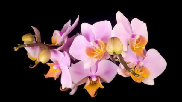 Virágzó rózsaszín orchidea Phalaenopsis Virág fekete háttér. Időeltolódás.