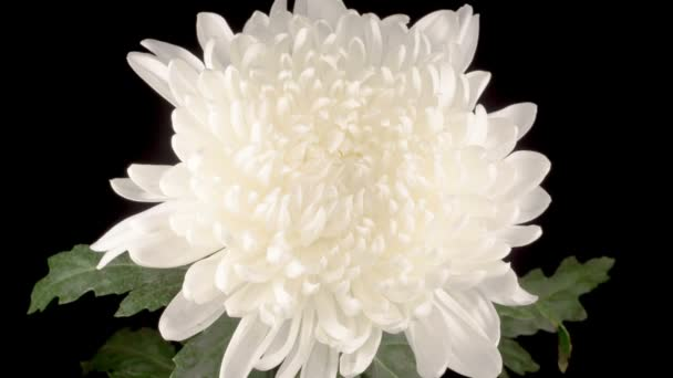 Time Lapse of Beautiful White Chrysanthemum Flower Opening Against a Black Background.