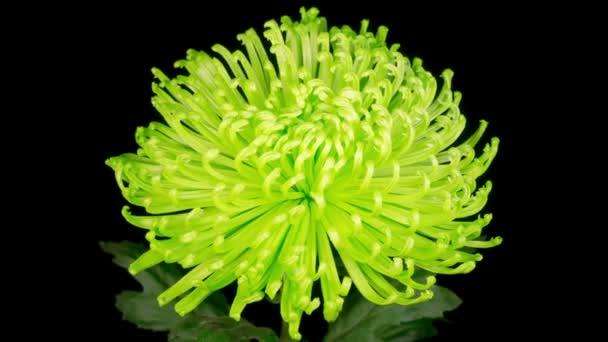 Čas vypršení krásné zelené chryzantémy Květina otevření na černém pozadí.
