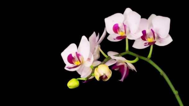 Virágzó fehér orchidea Phalaenopsis Virág fekete háttér. Időeltolódás. Negatív tér.