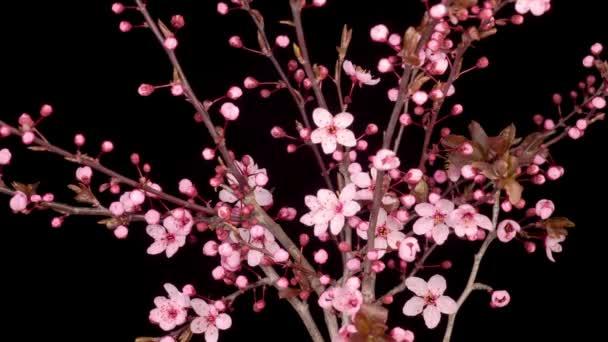 Růžové květy Květy na větvích Cherry Tree. Tmavé pozadí. Časová prodleva.