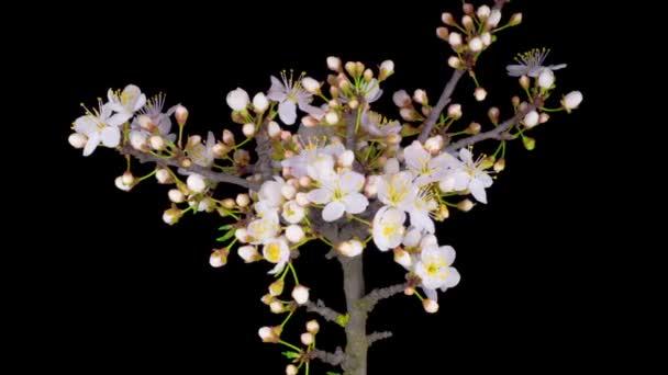 Fehér virágok virágoznak az ágakon cseresznyefa. Sötét háttér. Időeltolódás.