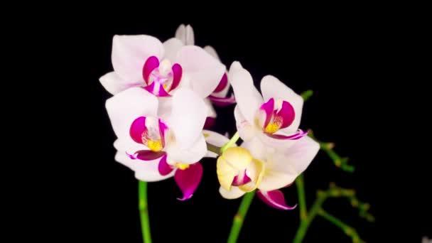 Blühende weiße Orchidee Phalaenopsis Blume auf schwarzem Hintergrund. Zeitraffer. Negativer Raum.