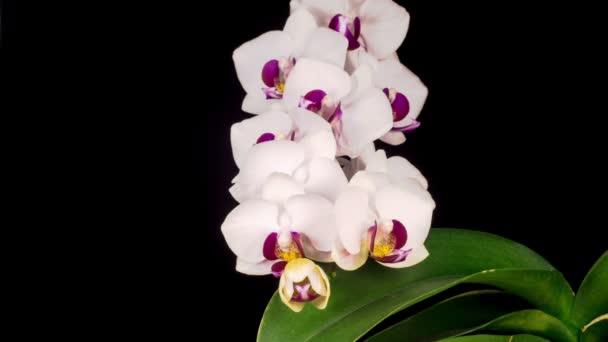 Kvetoucí bílá orchidej Phalaenopsis Květ na černém pozadí. Čas vypršel. Záporné místo.