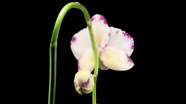 Kvetoucí bílá - fialová orchidej Phalaenopsis Květ na černém pozadí. Čas vypršel. Záporné místo.