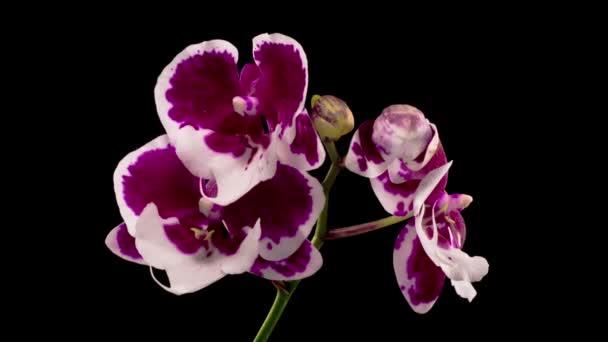 Orchideavirág. Virágzó fehér - Magenta orchidea Phalaenopsis Virág fekete háttér. Télapó Orchidea. Időeltolódás.
