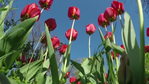Rote Tulpen im Frühlingsgarten