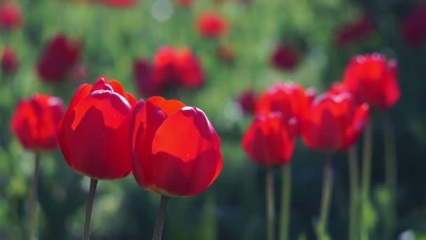 vörös tulipán a tavaszi kertben