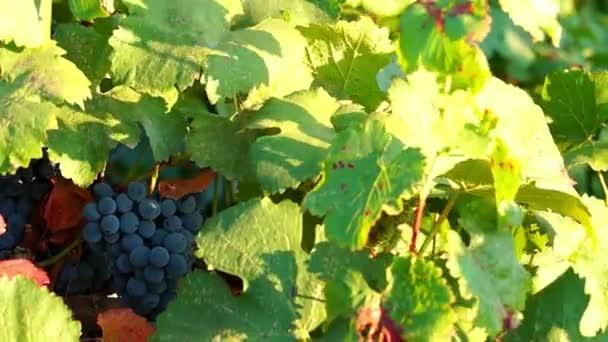 Trsy červených hroznů v vinice