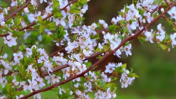 Tavaszi este, a cseresznye-kertben