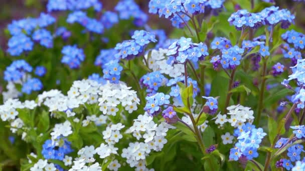 Blue and White Forget Me Not