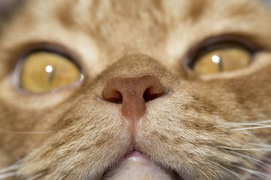 Cat nose close up photo with eyes in remote perspective