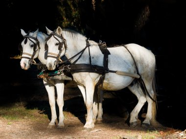 Couple of  white work horses  hitched to a wagon